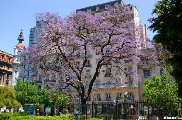 Buenos_Aires_-_Jacarandá